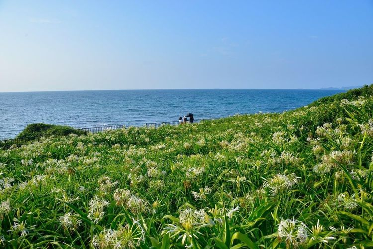 NikonD800 Nikon Nikonphotography 浜木綿 Sea 海 ハマユウ 空 Sky Nature EyeEm Nature Lover Beauty In Nature Frowers 花 Green Japan