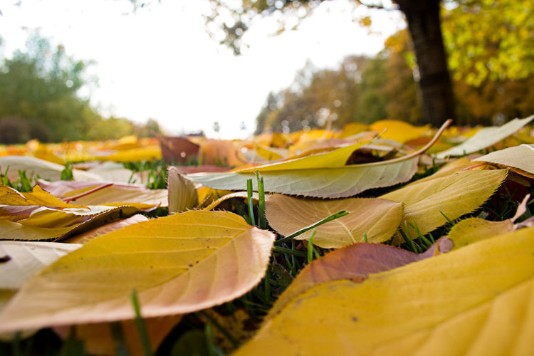 Close-up of yellow autumn leaves on land