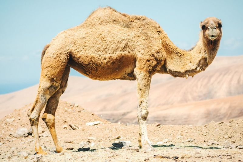 Side View Of Camel Against Clear Sky
