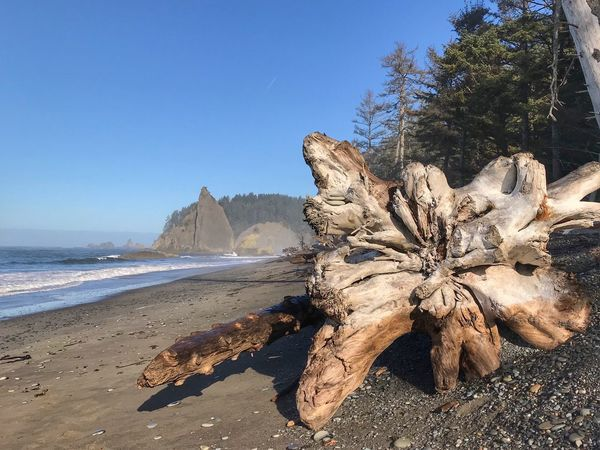 Close up of a huge tree washed up on the beach in Olympic national Park Pacific Northwest  Olympic National Park Dead Tree On The Beach Large Tree Trunk Driftwood Nature Beauty In Nature Tree Day Tranquility Scenics Tranquil Scene Clear Sky Sky Sunlight Outdoors Blue No People EyeEmNewHere An Eye For Travel