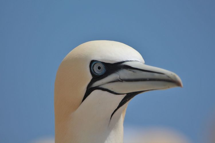 Close-up of gannet against clear sky