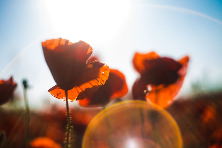 Poppy in sunlight Sun Sunlight Gelios Gelios44 Light Nature Nature Photography Nature Photography Beauty In Nature Naturelovers Flower Poppy Sky Close-up Plant Flower Head Blooming In Bloom Blossom Plant Life Botany