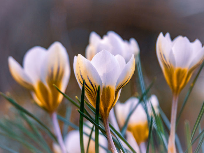 Flowering Plant Flower Freshness Fragility Vulnerability  Beauty In Nature Plant Petal Growth Close-up Flower Head Inflorescence Nature Selective Focus No People Focus On Foreground Day Plant Stem White Color Outdoors Crocus Sepal