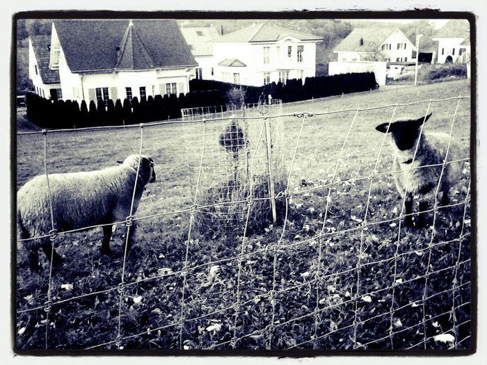määähhh Sheep Black&white Animals