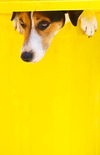 Jack Russell Jackrussell Dog Canine Mammal One Animal Domestic Pets Domestic Animals Animal Animal Themes Yellow Vertebrate Animal Body Part Close-up No People Portrait Looking Looking Away Animal Head