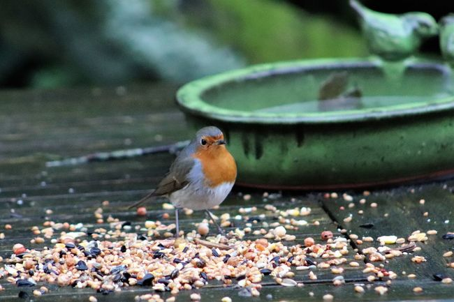 Robin enjoying some much needed nutrition in Belgium, Winter 2018 Belgium Birds Of EyeEm  Winter Animal Themes Animal Wildlife Animals In The Wild Beauty In Nature Belgie Bird Birdfeeder Birdfeeders Birds Close-up Day Nature No People One Animal Outdoors Pebble Perching Robin Roodborstje Water