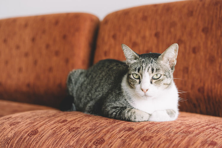 Animal Themes Cat Close-up Day Domestic Animals Domestic Cat Feline Indoors  Looking At Camera Mammal No People One Animal Pets Portrait Relaxation Sitting Sofa Table Whisker