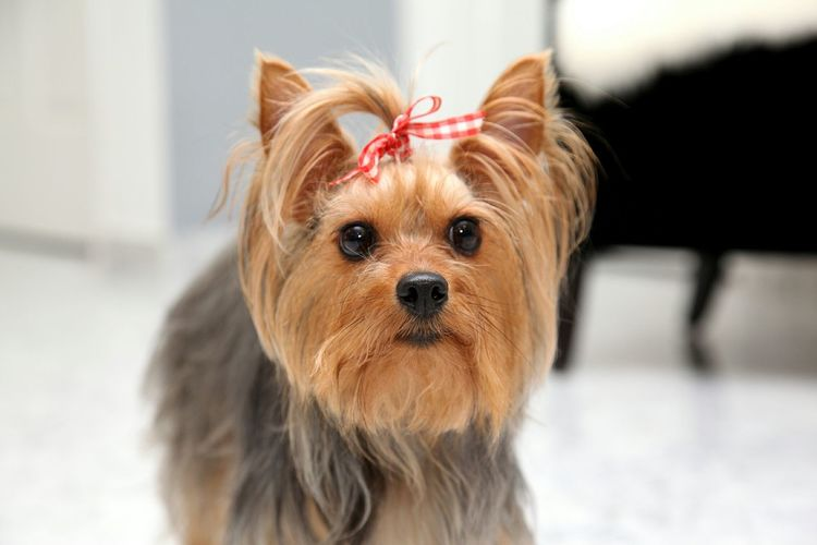 Dog Love Pets Pets Corner I Love My Dog Dog Pet Pet Photography  Silky Terrier