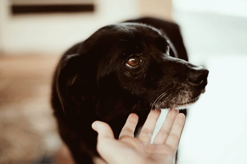 One Animal Pets Animal Domestic Animal Themes Mammal Human Hand Animal Body Part Indoors  Focus On Foreground Human Body Part Close-up Hand Vertebrate One Person Dog Domestic Animals Canine Black Color Day