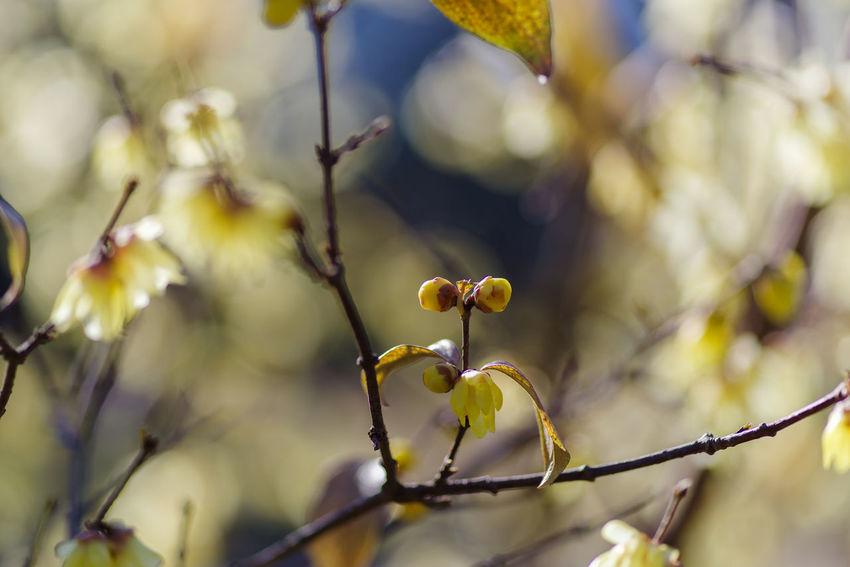 蝋梅 Plant Growth Close-up Beauty In Nature Selective Focus Nature No People Focus On Foreground Freshness Tree Branch Day Vulnerability  Flower Twig Fragility Flowering Plant Outdoors Fruit Beginnings