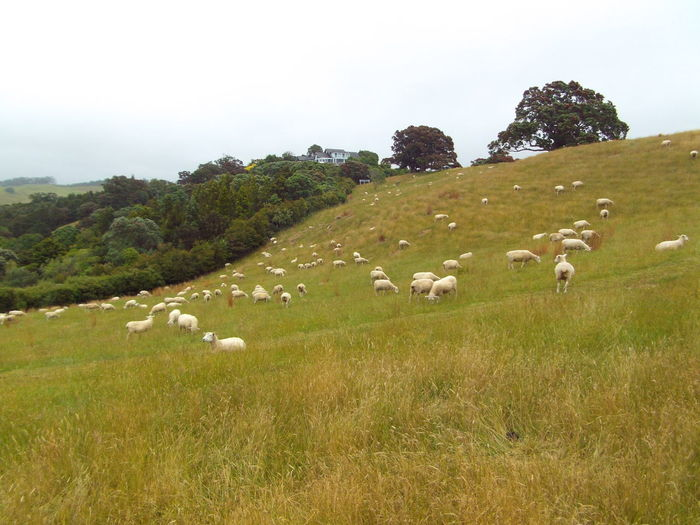 Agriculture Animal Animal Themes Day Domestic Animals Flock Of Sheep Grass Grazing Herd Landscape Large Group Of Animals Livestock Mammal Nature New Zealand Farm No People Outdoors Sheep Sky Summer Grazing Tree