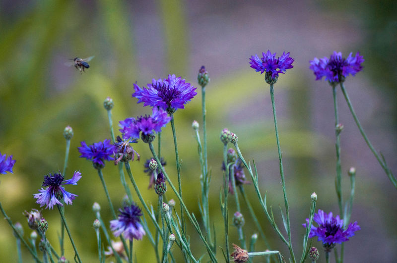 Close-up of bumblebee pollinating on purple flower