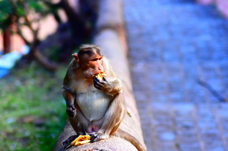 Animals In The Wild Monkey Animal Themes Eating Animal Indian Monkey Baboon Sitting Ape Close-up