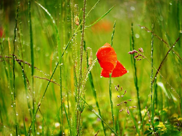 Close-up of wet red poppy flowers on field