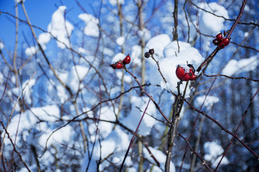 Beauty In Nature Berry Fruit Branch Close-up Day Focus On Foreground Food Food And Drink Freshness Fruit Growth Hawthorn Nature No People Outdoors Red Rose Hip Rowanberry Spring Tree Twig Winter