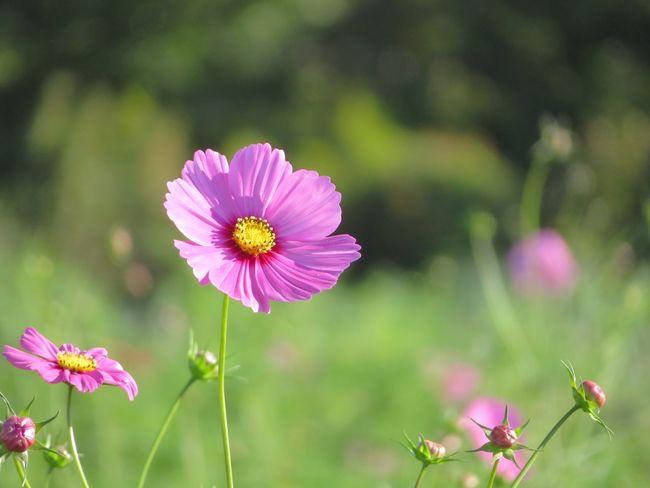 20170930 コスモス畑に🌸まだ一分咲き⤵︎⤵︎でも、風に揺れて可愛かった✨🤗 Flower コスモス 秋桜 Cosmos 秋の花 花