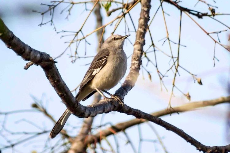 Was out doing some bird watching this evening and this little dude (mockingbird) showed up. Nature Animals Bird Watching Birds
