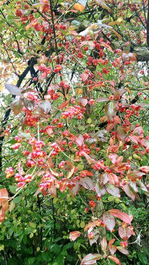 EyeEm Nature Lover Autumn🍁🍁🍁 Berries Redberries Eyembestshots EyeEm Gallery Walking Around Medlock Vale