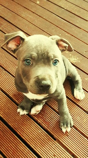 My baby blue English staffy One Animal Close-up Portrait Outdoors Day No People High Angle View Looking At Camera Dog Staffylove Staffordshire Bull Terrier Staffysmile Mammal Animal Themes Domestic Animals Pets Pet Portraits
