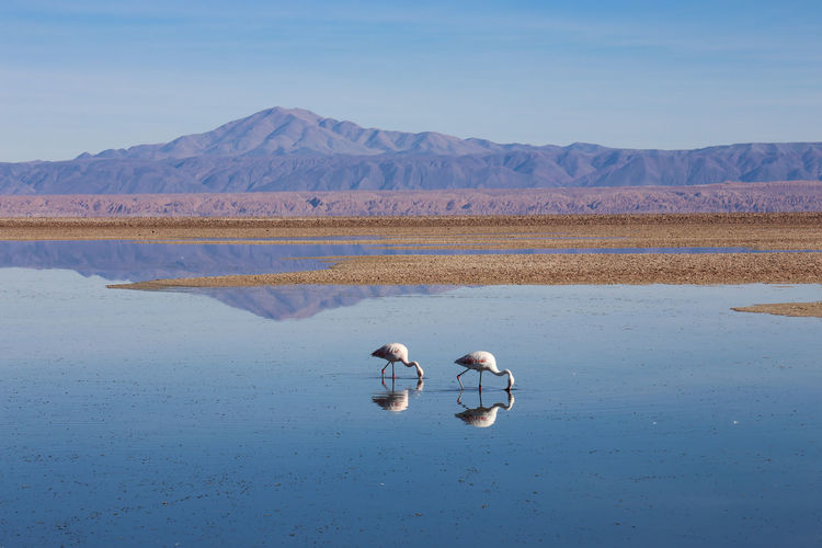 Flamingoes foraging in lake against mountains