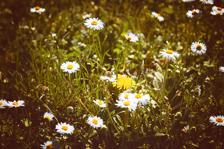 The bee and the daisies Flowering Plant Flower Plant Freshness Fragility Growth Beauty In Nature Vulnerability  Petal Land Flower Head Field Inflorescence Close-up White Color Daisy Nature Yellow No People Day Outdoors Pollen Springtime Flowerbed Bee