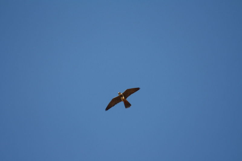 Avian Beauty In Nature Bird Of Prey Bird Photography Blue Day Falco Subbuteo Flying Freedom Hobby Hobbyphotography Hunter Of The Skies Hunting Mid-air Nature No People Outdoors Sky Spread Wings Tranquility Wild Life Wildlife Wildlife & Nature Wildlife Photography Wlldlife