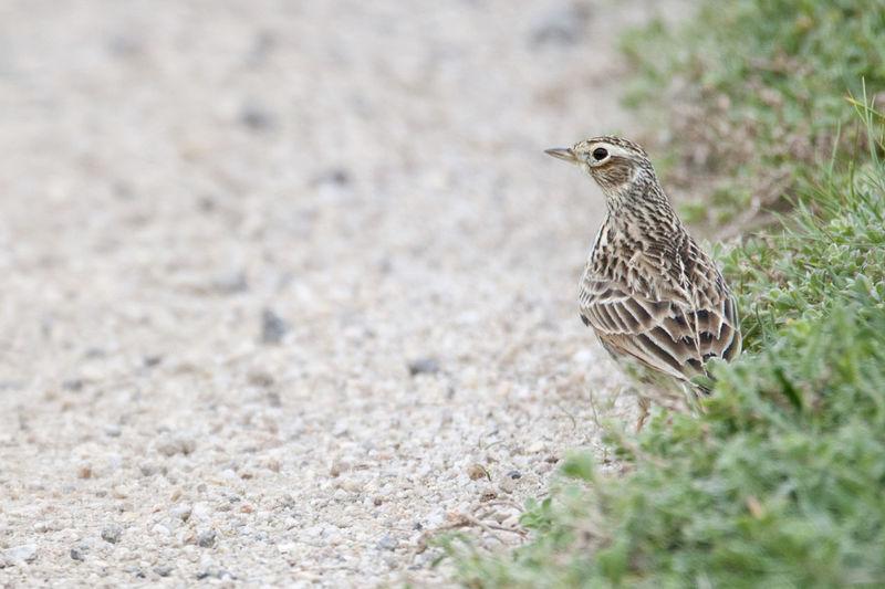 Australia Bird