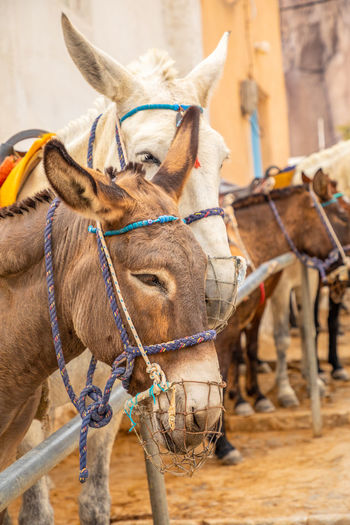 Santorini Greece Domestic Animals Mammal Animal Themes Domestic Pets Animal Working Animal Livestock Vertebrate Group Of Animals Bridle Focus On Foreground Donkey Animal Wildlife Herbivorous Day Animal Body Part Horse No People Animal Head  Animal Nose