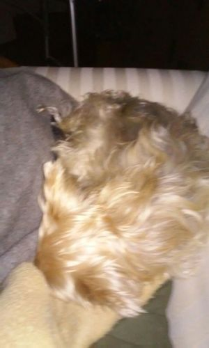 Quinn Bear sleeping 😊😊🐶🐶🐾🐾🌻🌻🌻🍁🍁🍁 Wish I could ! Check This Out My Babies ❤  I Love My Dog What I Value Cute Pets My Quinn Puppy 😚