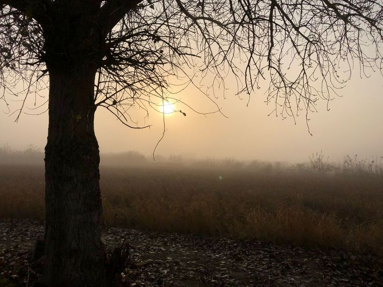 Tree Bare Tree Tranquility Nature Beauty In Nature Tree Trunk Branch Fog Landscape Tranquil Scene No People Field Scenics Outdoors Sunset Sky Hazy  Day