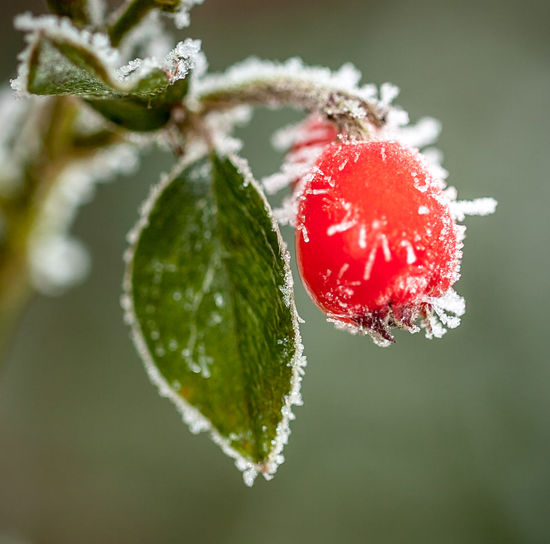Close-up of frozen berries on branch