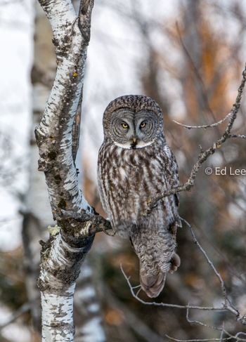 The Mom Look Bird Photography Birds Streamzoofamily Malephotographerofthemonth EyeEm Selects One Animal Animals In The Wild Animal Themes Focus On Foreground Day Animal Wildlife Bird Perching Nature Owl No People Branch Looking At Camera Outdoors Winter Portrait Snow Mammal Tree Close-up