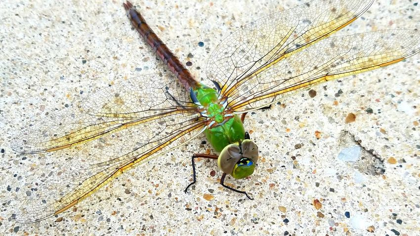 Dragonfly Dragonfly Entemology Insect Macro  Insect Beauty In Nature Iowa Cedar Rapids Canman Show Studio Common Green Darner