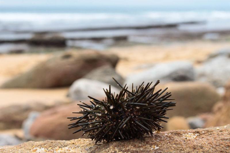 Close-up of sea urchin at beach