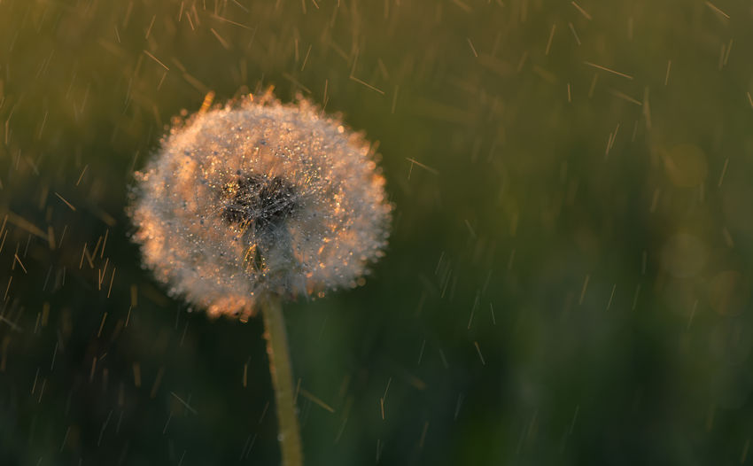 Blowball in Drizzle and Sunset light Plant Flower Flowering Plant Fragility Growth Vulnerability  Beauty In Nature Dandelion Nature Close-up Freshness No People Day Selective Focus Outdoors Focus On Foreground Plant Stem Softness Botany Water Flower Head Dandelion Seed Blowball EyeEm Nature Lover EyeEm Selects Nikonphotography Nikon Atmospheric Mood Atmospheric Nature Nature Photography Water Pearls Makro Weather Sunlight Drizzle Spring Environment Meadow Flowers Scenics - Nature