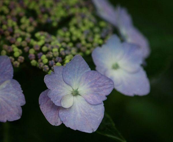 Kumamoto Japan flower 山紫陽花 紫陽花