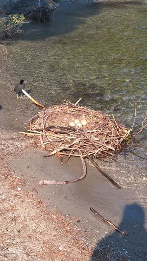 Day High Angle View Nature No People Outdoors Swan Nest Water