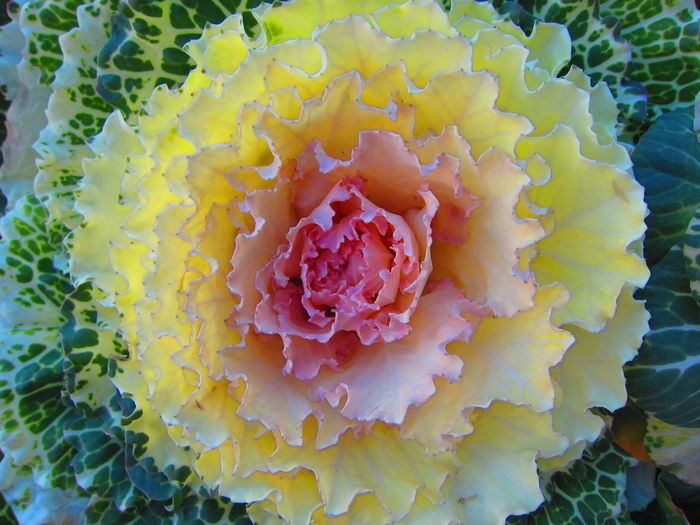 Decorative Cabbage Beauty In Nature Cabbage Cabbage Flower Close-up Decorative Cabbages Flower Flower Head Freshness Frilly Frilly Leaves Full Frame Japanese Cabbage New Year Around The World New Year Decorations Petal Unusual Vegetables Yellow Vegetable Vegetables Visual Feast EyeEm Selects