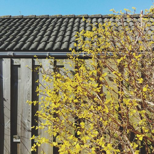 Yellow flowering plant by building against sky
