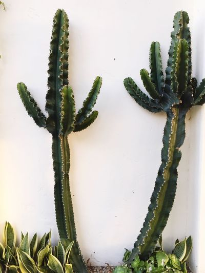 Plant Growth Cactus Stem Leaf Green Color Freshness Bud Close-up Nature Succulent Plant Plant Life Cactus Venice Beach New Life Seedling Houseplant Thorn Green Botany Spiked