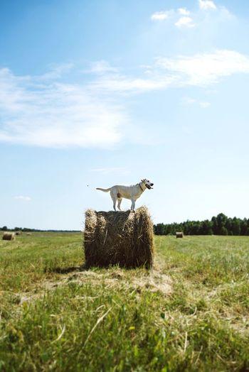 Doglife Village Hay Summer