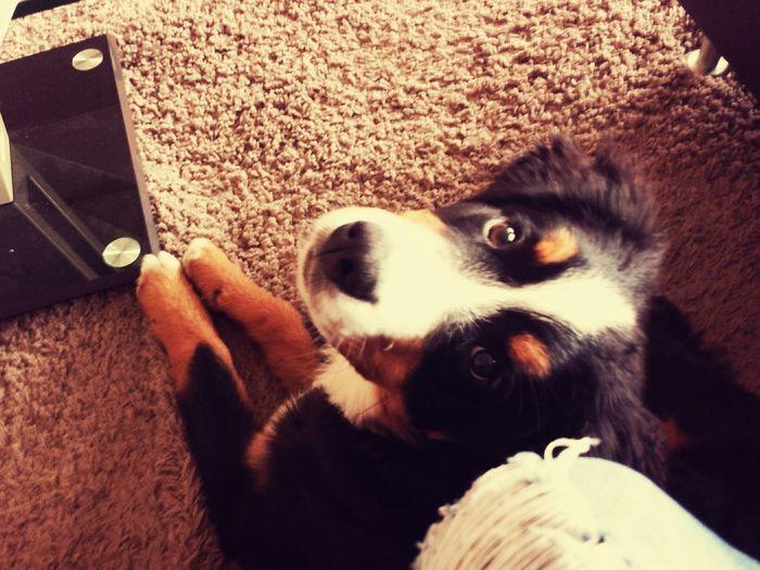 Hunde Bernersennenhund Meins Süß *__* Hundeblick Welpen Putzig Tiere♡