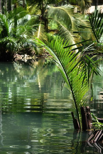 Palm tree by lake