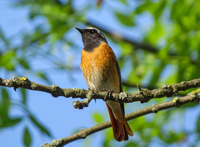 Animal Themes Beautiful Beauty In Nature Bird Nature Outdoors Redstart Tree