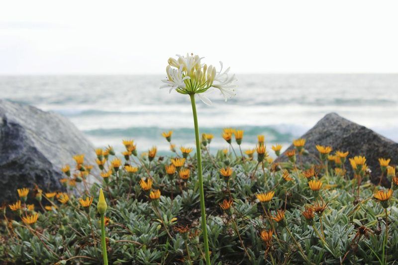 Close-up of yellow flowering plants by sea against sky