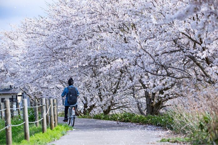 Cherry Blossom Springtime Streetphotography セルフタイマー Kanazawa-shi Japan 金沢市 桜 サクラ Dry Riverbed River Bed 河川敷
