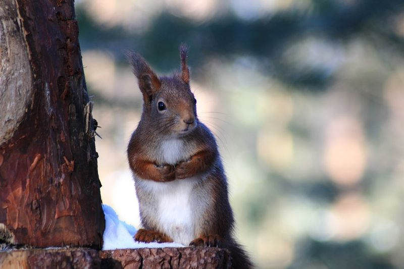 Squirrel Focus On Foreground One Animal Animal Themes Animals In The Wild Animal Wildlife Day No People Outdoors Mammal Nature Tree Close-up