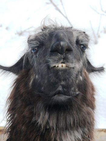 Portrait Lamaphotography Lama Mammal Animal Hair One Animal No People Portrait Animal Themes Looking At Camera Nature