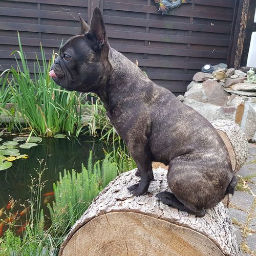 Teich Teichfrosch Frenchbulldog Pets Bulldog Dog