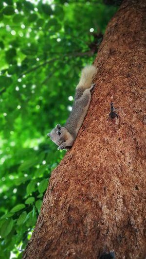กระรอก Squirrel กระรอก One Animal Animal Wildlife Reptile Animals In The Wild Tree Animal Themes Day Nature Outdoors Mammal